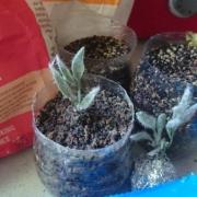 'Twist' seedlings